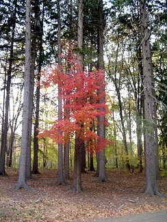 A red maple tree highlighted between spruce trees