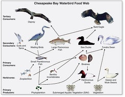 Generalized food web of waterbirds from Chesapeake Bay