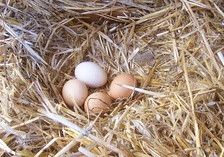 Chicken eggs vary in colour depending on the hen, typically ranging from bright white to shades of brown and even blue, green, and recently reported purple (found in South Asia) (Araucana varieties).