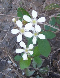 Dewberry flowers. Note the multiple pistils, each of which will produce a drupelet. Each flower will become a blackberry-like aggregate fruit.