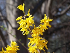 Flowering branch of forsythia amid bare trees