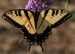 Male eastern tiger swallowtail, Papilio glaucus, on butterfly bush