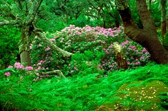 Oaks, rhododendrons and ferns in the Los Alcornocales Natural Park.