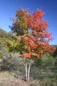 Bi-colored Maple Tree.jpg