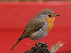 The European robin has relatively large eyes, and starts to sing early in the morning.