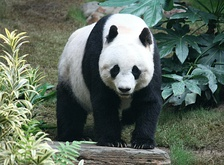The giant panda has become the symbol of WWF.