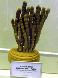 Museum specimen of the branching sponge Lubomirskia baicalensis (living are brighter green)