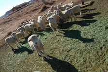 Dibé (sheep) remain an important aspect of Navajo culture and economy.