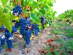 Vineyard in North Macedonia