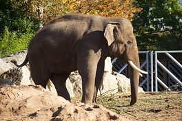 An Asian elephant at Chester Zoo