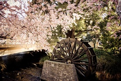 Cherry blossoms and water wheel in Hagley Park