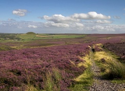Heather moorland on the North York Moors mainly consisting of Calluna vulgaris