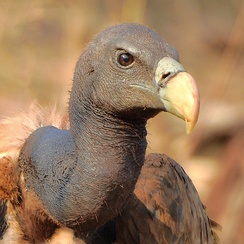 Close-up of Indian vulture in India