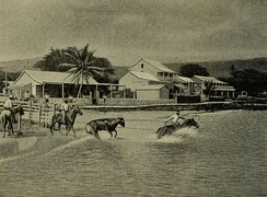 Loading cattle at Kailua-Kona, at the start of the 20th century.