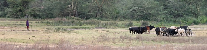 A Maasai herdsman grazing his cattle inside the Ngorongoro crater