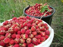 Свежесобранные плоды клубники, цветоложа трудно отделяются от плодов