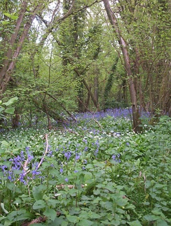 Ancient woodland at Brading, Isle of Wight, England showing bluebells (blue flowers, Hyacinthoides non-scripta), ramsons (white flowers, Allium ursinum) and hazel (trees, Corylus avellana)