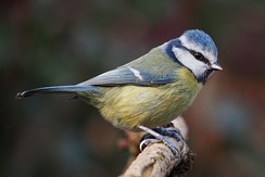 blue tit (Cyanistes caeruleus) and its relatives stand well apart from rest of the Sylvioidea sensu lato