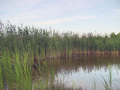 Common reed is an important habitat for breeding and wintering.