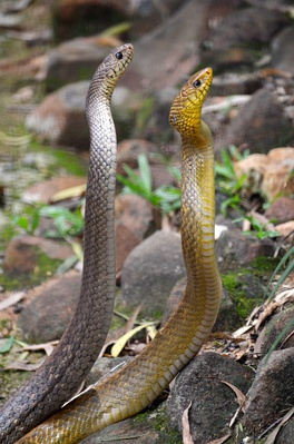 Two Indian rat snakes (grey and yellow)