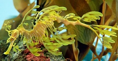 The leafy sea dragon sways like seaweeds to reinforce its camouflage.