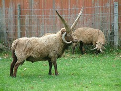 Manx Loaghtan sheep are bred on the island for their meat.