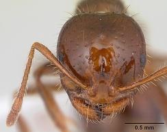 Голова рабочего Solenopsis invicta