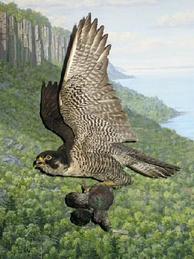 Сапсан— естественный враг голубя