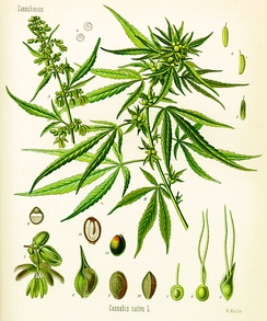 Cannabis as illustrated in Köhler's Book of Medicinal Plants, 1897