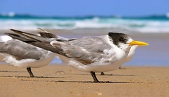 Terns have coloured oil droplets in the cones of the eye to improve distance vision