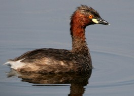 Many molecular and morphological studies support a relationship between grebes and flamingos