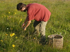 A herbalist gathers the flower heads of Arnica montana.