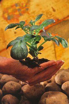 Саженец картофеля