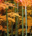 Acer palmatum trees and bamboo in Japan