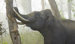 Asian elephant eating tree bark, using its tusks to peel it off.