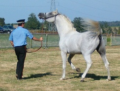Even well-trained stallions require firm and consistent handling by experienced individuals.