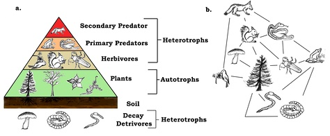 A trophic pyramid (a) and a food-web (b) illustrating ecological relationships among creatures that are typical of a northern boreal terrestrial ecosystem. The trophic pyramid roughly represents the biomass (usually measured as total dry-weight) at each level. Plants generally have the greatest biomass. Names of trophic categories are shown to the right of the pyramid. Some ecosystems, such as many wetlands, do not organize as a strict pyramid, because aquatic plants are not as productive as long-lived terrestrial plants such as trees. Ecological trophic pyramids are typically one of three kinds: 1) pyramid of numbers, 2) pyramid of biomass, or 3) pyramid of energy.[5]:598