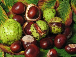 The fruit of the Aesculus or Horse Chestnut tree