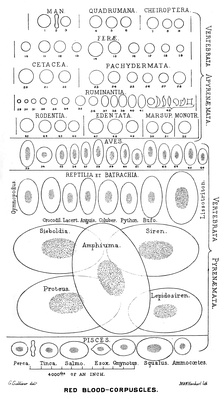 There is an immense size variation in vertebrate red blood cells, as well as a correlation between cell and nucleus size. Mammalian red blood cells, which do not contain nuclei, are considerably smaller than those of most other vertebrates.[7]