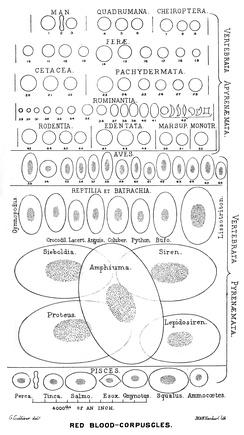 Размеры и форма эритроцитов широко варьируют среди позвоночных. Лишенные ядра эритроциты млекопитающих имеют наименьшие размеры. Почти столь же малы имеющие ядро эритроциты птиц. У остальных групп позвоночных они заметно крупнее.