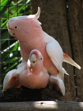 The Lophochroa leadbeateri, commonly known as Major Mitchell's Cockatoo or the pink cockatoo, is a native of the arid interior regions of Australia.