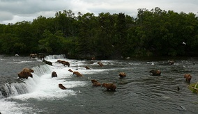 Group of brown bears at Brooks Falls