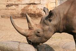 Рог носорога может стоить на чёрном рынке несколько тысяч долларов