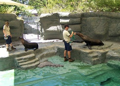 Sea lions at the Melbourne Zoo