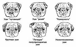 Разновидности ушей
