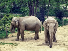 Jena and Praya, the two Asian elephants (Elephas maximus).