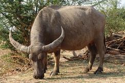 Домашний азиатский буйвол