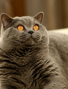 A fully mature British Shorthair