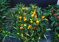 Compact plant of orange Capsicum