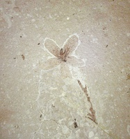 Eocene fossil flower from Florissant, Colorado